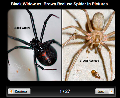 Spider Pictures Slideshow: Black Widow vs. Brown Recluse