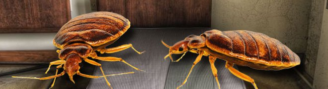 Bed bugs are small, oval non-flying insects that feed by sucking blood from humans or animals usually found in beds of homes and hotels.