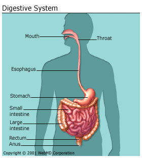 Picture of the Human Body Digestive System