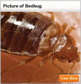 Picture of a bedbug