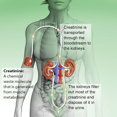 What is creatinine why is it important to check blood creatinine