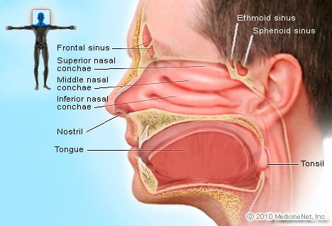 Picture of Sinuses