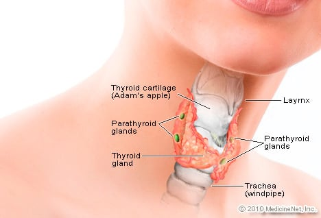 Illustration of thyroid