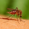Learn about prevention of dengue fever, a disease transmitted by mosquitoes.