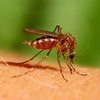 Read about dengue fever symptoms and signs.