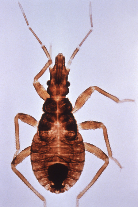 Picture of kissing bug, a vector for Chagas disease
