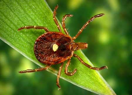 Picture of a lone star tick