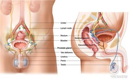 Picture of the male anatomy