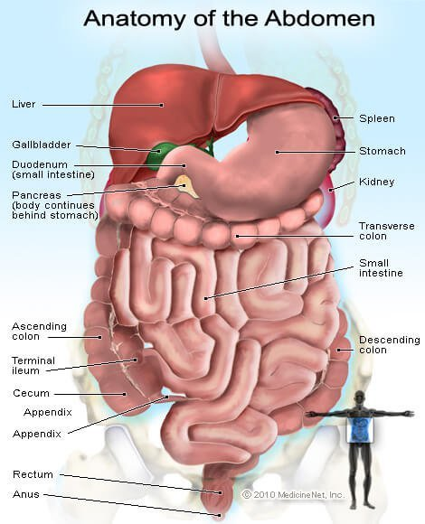Picture of the organs and glands in the abdomen