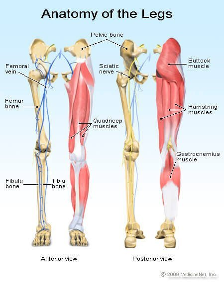 Illustration of the anatomy of the legs