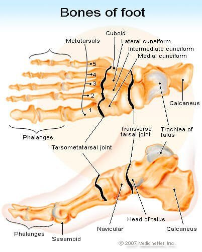 Picture of the Anatomy of the Foot