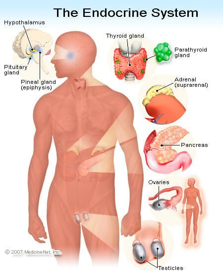 Picture of the endocrine system including the testes and ovaries