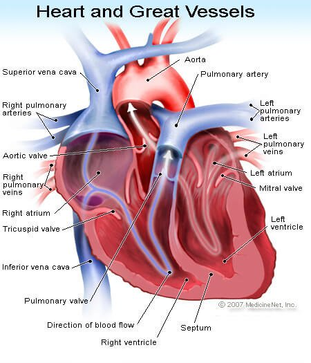 Picture of the Heart and Great Vessels in Heart Transplant