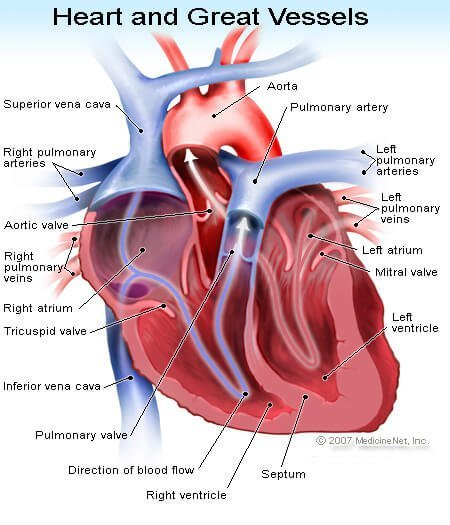 Picture of the Heart - Left and Right Atrium, Left and Right Ventricles, and Other Portions of the Heart