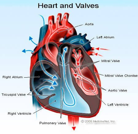 Picture of the heart and valves, left and right ventricles, left and right atria