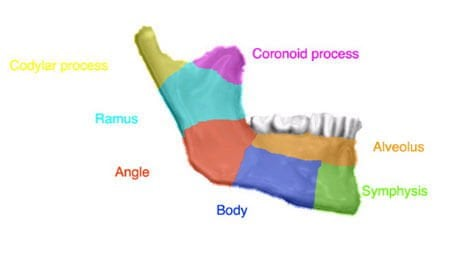 Picture of the jawbone