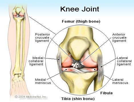 Knee Joint illustration - Anterior cruciate ligament