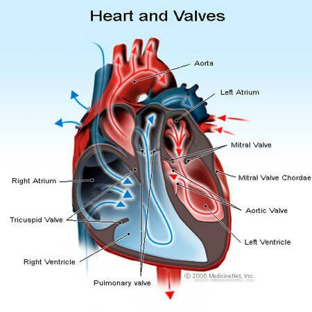 Heart and valves illustration.