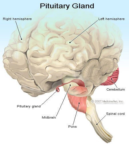 Illustration of the Pituitary Gland