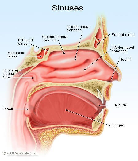 Picture of the Sinus Cavities