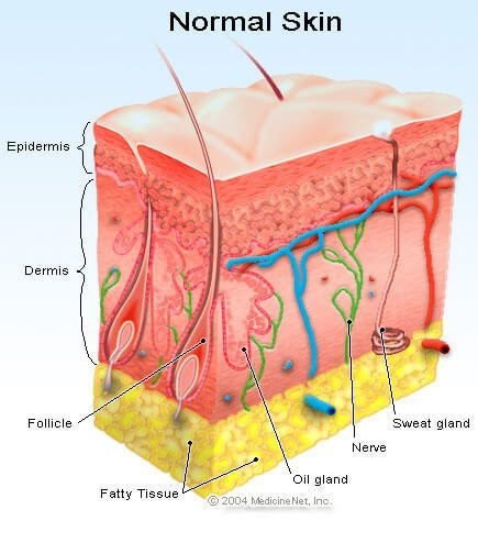 Skin illustration - Hair follicle
