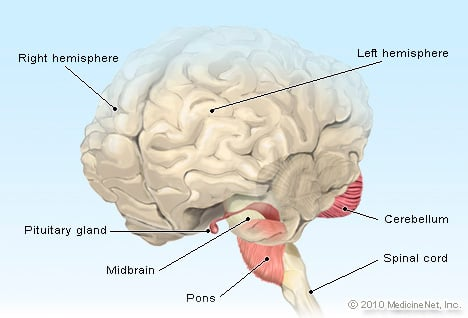 Pituitary Gland Illustration