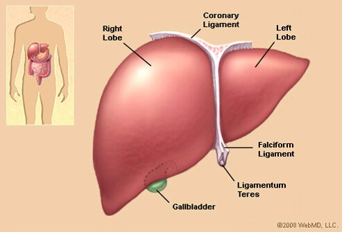 Picture of Liver