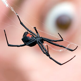 'WebMD Logo' from the web at 'http://images.medicinenet.com/images/popular_collections/bad-bugs-spider-black-widow-big.jpg'