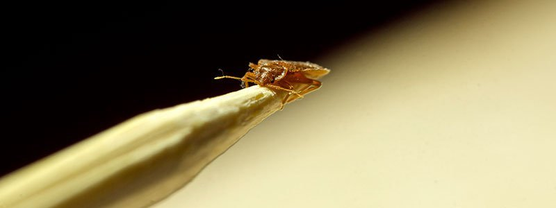 Bed Bugs Quiz How To Get Rid Of Bed Bugs