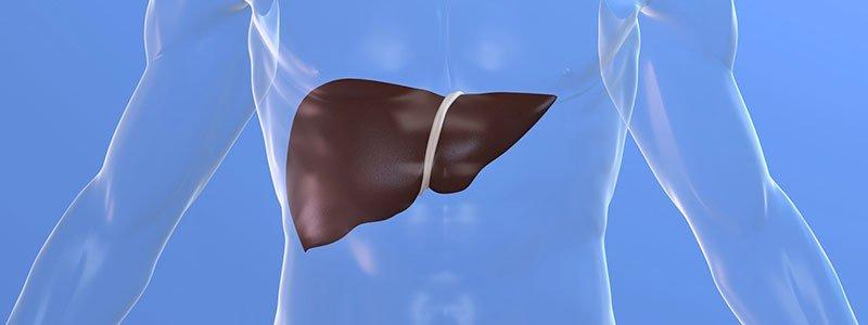 Illustration of the human liver.