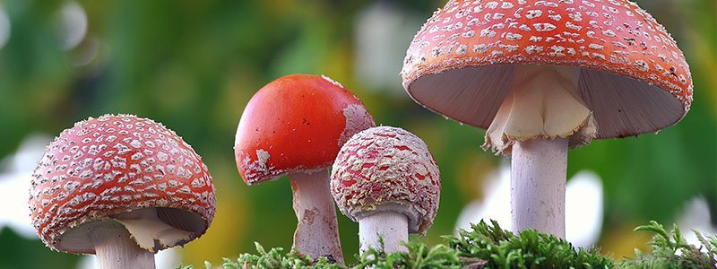 Image of a red mushroom in grass.