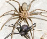 Black Widow vs. Brown Recluse Slideshow Pictures
