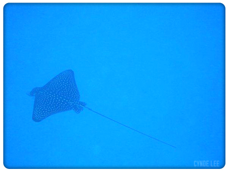 Picture of a spotted eagle ray (sting ray)