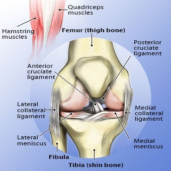 Anatomy illustration of the knee.