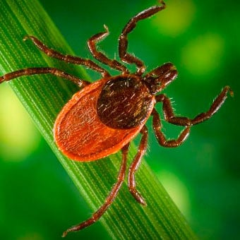 Photo of a blacklegged tick, which is a known vector responsible for Lyme disease.