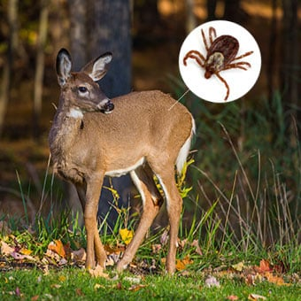 Certain ticks, such as the blacklegged tick shown here, are frequently found on deer harboring the bacterium in their stomachs.