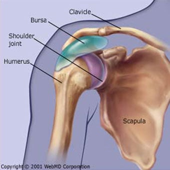 Illustration of shoulder anatomy.