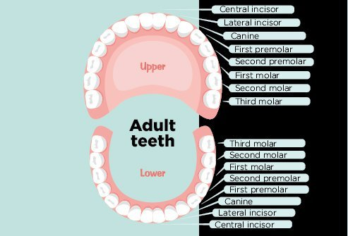 Types of Human Teeth: Structure, Function, Numbers, Sets
