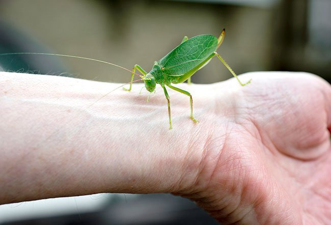 Katydids are gentle insects that look like grasshoppers.