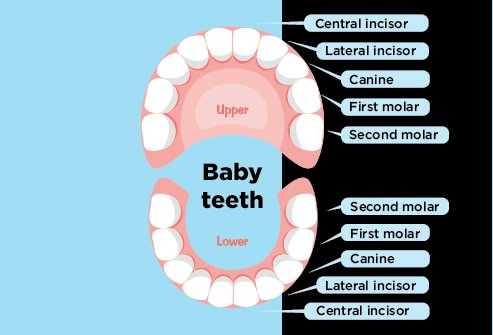 Chart of human baby teeth