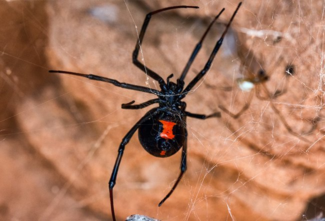 Spider bites from two types of spiders, black widow spiders and brown recluse spiders, can be dangerous. Seek medical attention for a spider bite if there is a worsening local reaction for more than 24 hours, redness spreading away from the bite, drainage from the bite, increased pain, numbness/tingling, a halo or bull's eye discoloration around the bite, or an allergic reaction (rare).