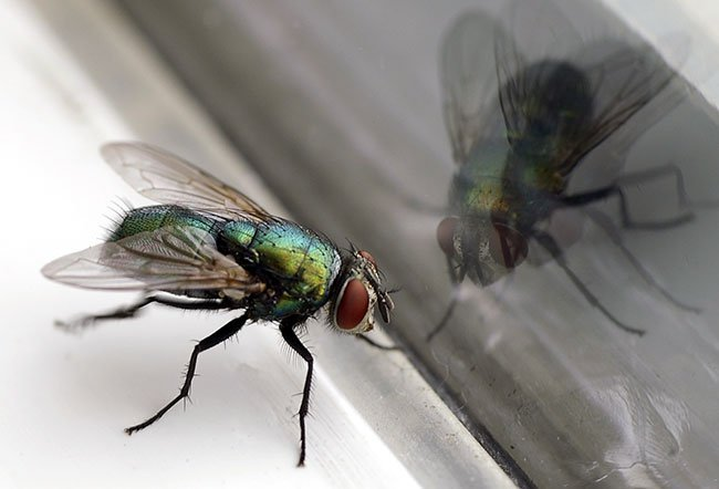 Flies found in houses are referred to as houseflies and nuisance flies.