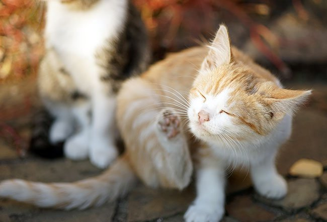 An ear mite infection usually causes a kitten's or cat's ears to itch