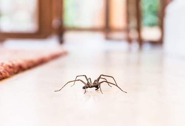 Spiders are one of the most dreaded pests seen in our homes.