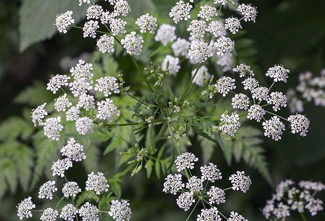 The hemlock plant, known as poison hemlock, is poisonous.