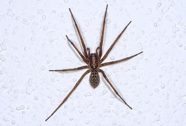 The hobo spider bites when they feel threatened.