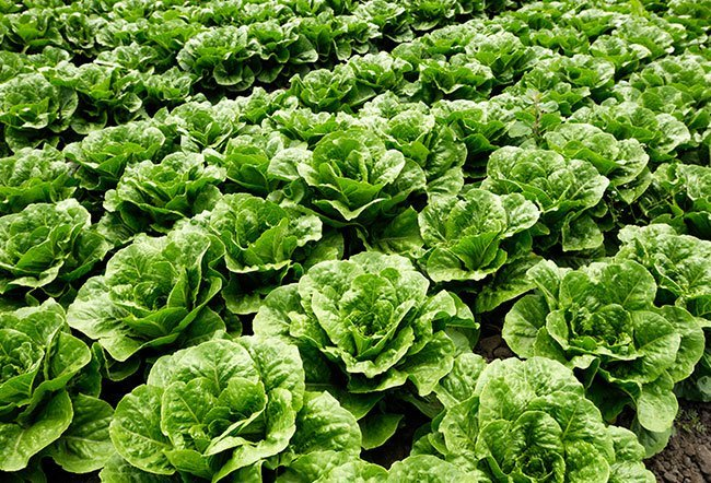 Romaine lettuce (Lactuca sativa), also known as Romanian lettuce or cos lettuce, is one of the types of head lettuce