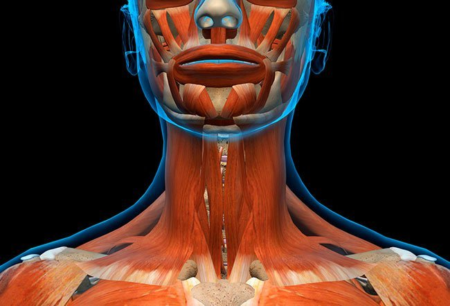 Several muscles are present in the neck to allow the movement of the neck and maintain its shape and structure.