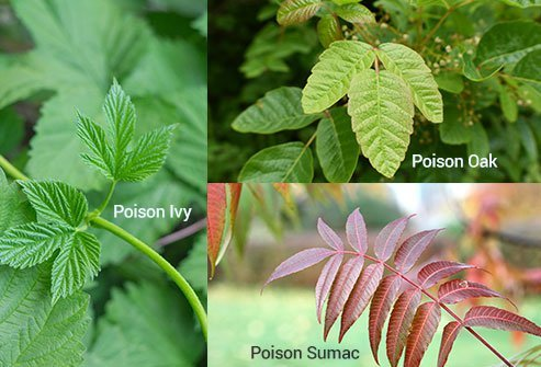 Even when dried-up, their leaves and stems can cause a rash.