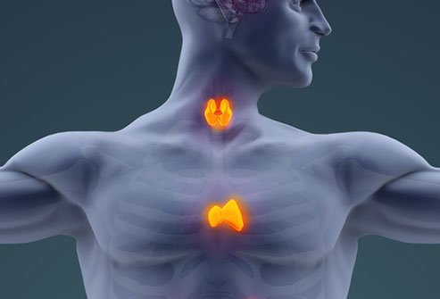 The thymus gland is a small organ located in the chest between the lungs